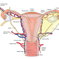 Ovary And The Surrounding Structures MU